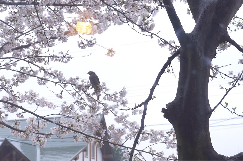 tori-sakura
