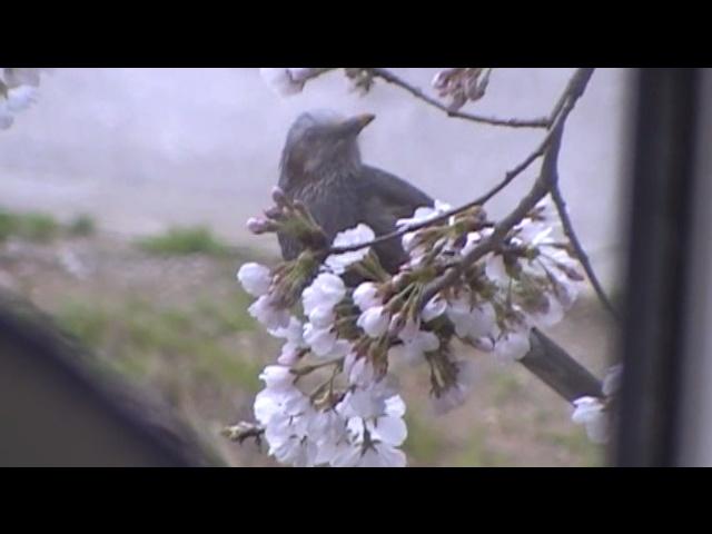 桜とヒヨドリ05