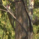 アオゲラの日々 Days of green woodpecker