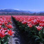🌸桜とチューリップと立山連峰🌸
