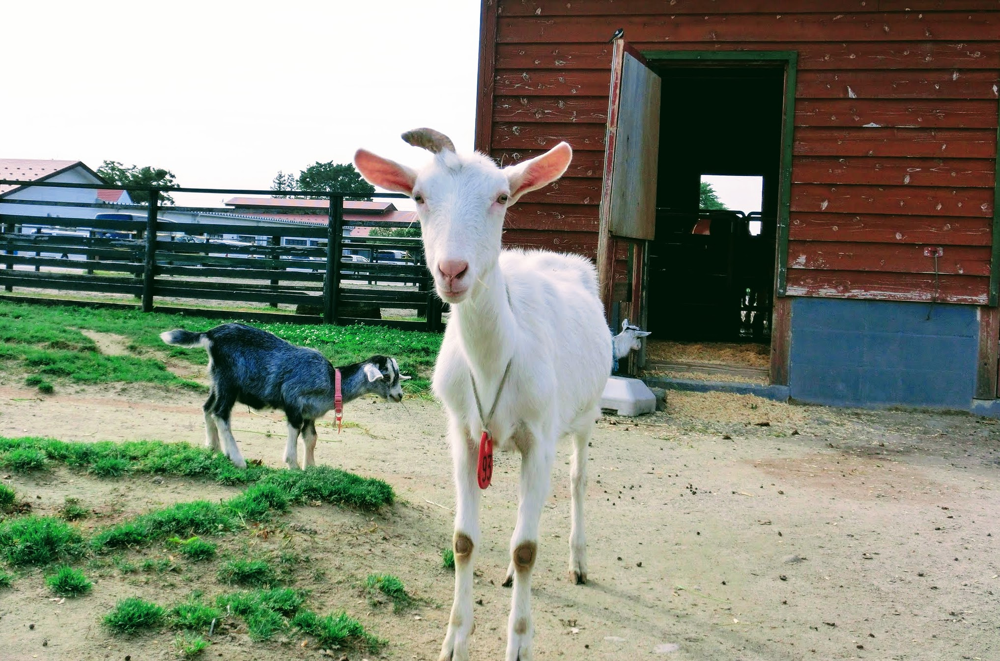 ハイジを思いつつヤギのチーズを食す